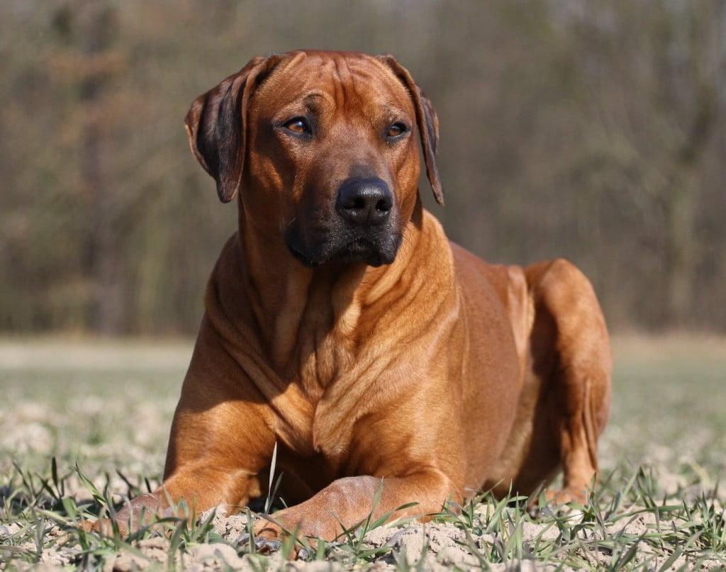 Rhodesian-Ridgeback-Dog-3