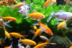the-behaviour-of-pet-fish-decoded-52837034037d3