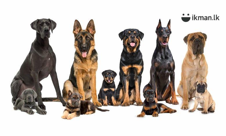 Top 5 Guard Dog Breeds in Sri Lanka